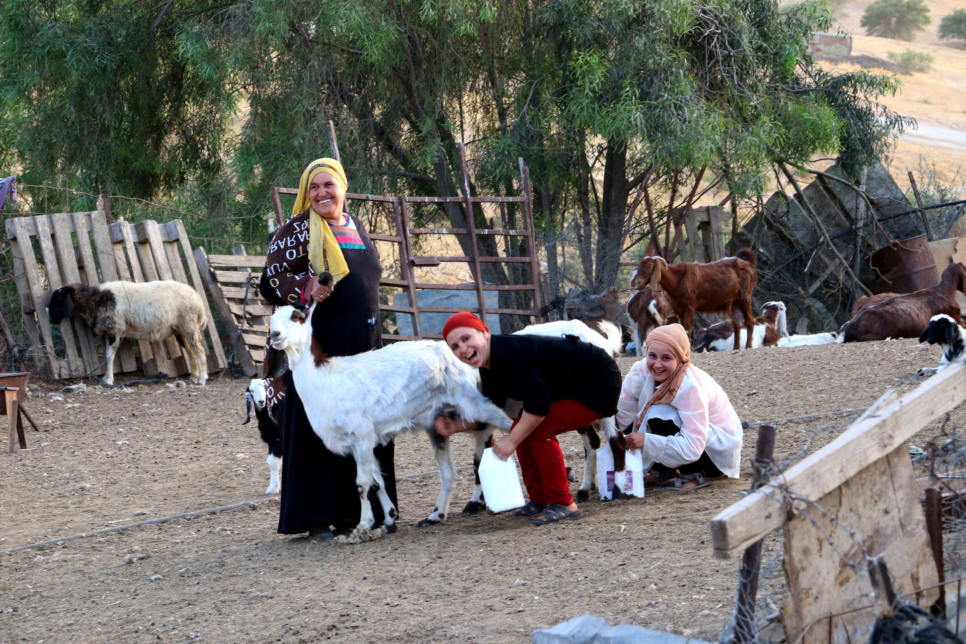 UM ELHERAN, ISRAEL, JUNE 4, 2016. Bedouin women milking goats at the Um Elheran village in the Negev Desert. 06/03/2016. Photo by Donna M. Airoldi