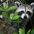 From Brooklyn to the Bronx, reports of raccoon-related disturbances are up as New York City struggles to deal with yet another pest.