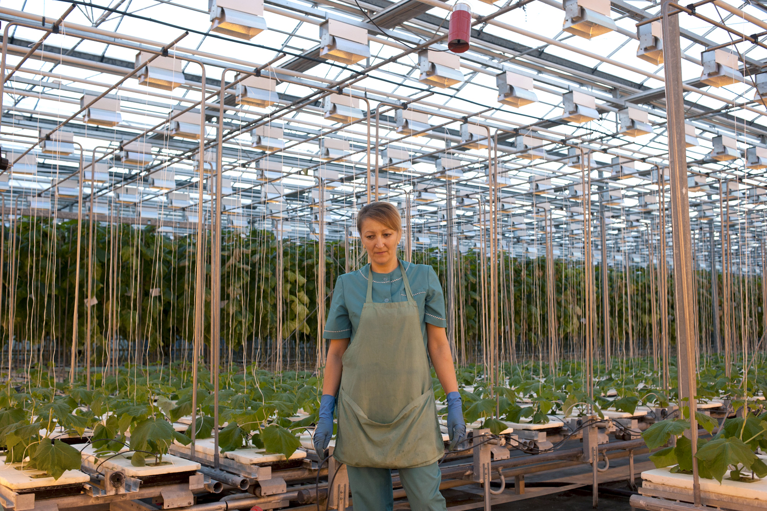 The greenhouse collective - A Worker Tends To Cucumbers In The Greenhouse At A Collective Farm On The Outskirts Of