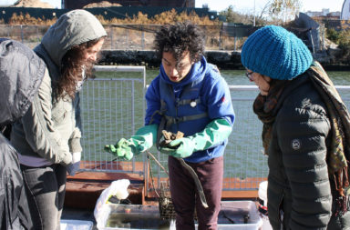Members of the Gowanus Dredgers Canoe Club examine oysters from an experimental colony