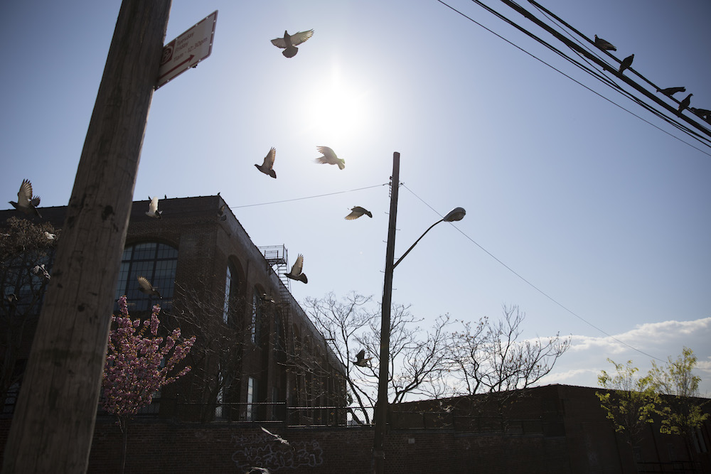 Pigeons take flight on Barretto Street in Hunts Point, Bronx (photo by Jessica Bal).