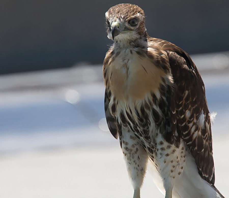 STARE DOWN: The family of red-tailed hawks near Fordham University  are among hundreds of birds of prey living in New York City. Photo Credit: Richard Fleisher.